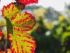 Weinblätter im Herbst / vine leaf in autumn (A.Dragonheart) Tags: landschaft landscape autumn herbst fall blatt leaf rot red gelb yellow weni vine weinrebe grapevine licht light