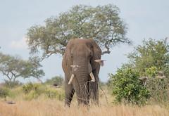 The air traffic controller (dunderdan77) Tags: nikon tamron d500 150600 nature wildlife outdoor outdoors safari trunk tusk south africa kruger national park