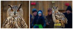 Tweety and her admirers (FocusPocus Photography) Tags: uhu eagleowl tweety vogel eule bird owl garudafalknerei tier animal bubobubo