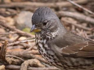 Fox Sparrow shy migrating bird Inceville Los Liones Canyon Los Angeles cropped 118