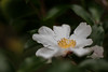 the flowers taking us into winter... (bunchadogs & susan [off-ish]) Tags: lateautumn camellia fortunacalifornia
