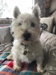 I am so cute (Artybee) Tags: samson westie westitude west highland white terrier dog