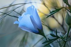 Sunset beauty (Hanna Tor) Tags: garden color flower flora beauty sunset hannator closeup bokeh light petals blue green nature