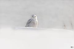 ''Enchantement!'' Harfang des neiges-Sonwy owl (pascaleforest) Tags: oiseau bird animal nature nikon passion owl hibou wild wildlife faune québec canada light lumière neige snow decembre december