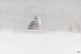''Enchantement!'' Harfang des neiges-Sonwy owl