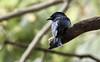 Birds in Backyards - Udahamulla (OM-Digital) Tags: srilanka colombo birding urbanwetland wetlandbirds 2017 tourofsrilanka birdinginsrilanka birdsinbackyards homesweethome relaxing balcony olympus omd em111 300mm f56 mft handheld highiso black wideopen