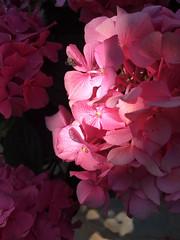 Hortensia in pink (VillaRhapsody) Tags: flower summer light shadow flowers hydrangea hortensia challengeyouwinner cyunanimous