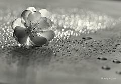 °°° (MargoLuc) Tags: cherry blossom bokeh monochrome droplets natural light translucent backlight reflection bw flower