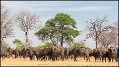 African Savannah Buffalo (John R Chandler) Tags: africansavannahbuffalo animal buffalo capebuffalo herd hwangenationalpark mammal matabelelandnorthprovince synceruscaffer zimbabwe zw