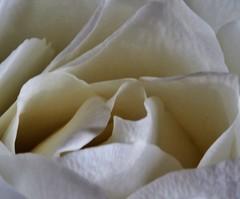 Milky white Rose 😀👍😀 (LeanneHall3 :-)) Tags: rosepetal rose white flower flowerarebeautiful flowersarefabulous flowerflowerflower macrotubes macro closeup closeupphotography canon 1300d macroflowerlovers