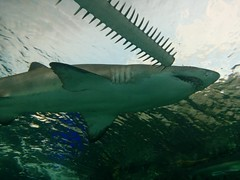 Sawfish rostrum and shark #toronto #ripleysaquarium #aquarium #fish #shark #sawfish #carpentershark #rorstrum #latergram (randyfmcdonald) Tags: fish ripleysaquarium latergram shark carpentershark rorstrum aquarium toronto sawfish