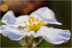 Feuerwerk (Heinze Detlef) Tags: feuerwerk blüte pflanze makro macro pollen blätter brennweite105mm frühling