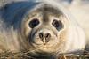 Seal (Matt Hazleton) Tags: greyseal seal mammal wildlife nature outdoor animal canon100400mm canoneos7dmk2 canon 100400mm 7dmk2 matthazleton matthazphoto donnanook lincolnshirewildlifetrust lincolnshire halichoerusgrypus