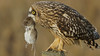 Short Eared Owl and Guest (photosauraus rex) Tags: bird shortearedowl owl vancouver bc canada asioflammeus owlandvole vole owldinner