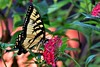 Tiger Swallowtail Butterfly DSC_4228 (blthornburgh) Tags: tampa thornburgh florida flyinginsect butterfly tigerswallowtail swallowtail swallowtailbutterfly nature backyard pattern stripes colorful closeup