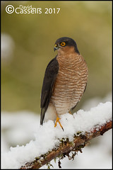 Male Sparrowhawk in the snow (David E Cassells) Tags: