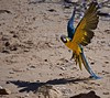 Arara (lands on the beach) (Carlos Santos - Alapraia) Tags: arara ngc ourplanet animalplanet canon nature natureza wonderfulworld highqualityanimals unlimitedphotos fantasticnature birdwatcher bird ave pássaro pássarotropical avetropical