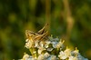 xyx-0223 (jozsef.fay) Tags: hely itthon köncsög növény virág rovar tücsök vadvirág állat