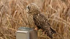 Short-eared Owl Encounter (twcrowe50) Tags: delaware shortearedowl portmahon owl
