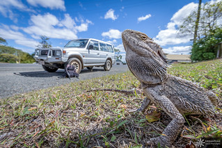 Mister Pogona & Old boy - Australian Trip