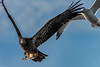 nature (pstrock1) Tags: sky morning peacefull wild wildlife fly nature bird beauty wings eagle gully feet