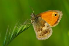 Coenonympha pamphilus (9) (JoseDelgar) Tags: insecto mariposa coenonymphapamphilus 425855678732850 josedelgar naturethroughthelens ngc coth coth5 npc