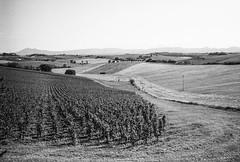 Around the Avignonesi vineyard , Tuscany. Leica M6, 35mm Summciron ASPH, Fomopan 100 (nickdemarco) Tags: rangefinderchronicles blackwhite film leicam6classic 35mmsummicronasph italy fomopan tuscany