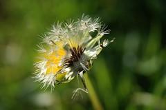 Dandelion Clock (Rhianydd Atkins) Tags: dandelion flower macro waterdroplet nature garden bokeh seeds