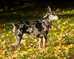 Abby in the leaves (mariannedeselle (slowly catching up)) Tags: terrier ratterrier littledog