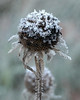 Ice crystals on Black-eyed Susan seed heads. (jaybirding) Tags: frost leicavlux114 maine me nature outdoor plant rossmore scenery stormer brunswick us