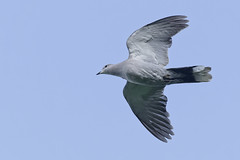 Pigeon_A656807_DxO (jackez2010) Tags: ilce6500 fe100400mmf4556gmoss bif birdinflight pigeon
