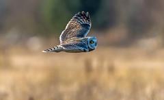 Short-eared Owl (chuck.mell) Tags: 2017 americanbittern rawlinsrd seow