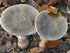'I am going to eat you.....' (joeke pieters) Tags: 1360976 panasonicdmcfz150 paddenstoel paddenstoelen mushroom toadstool fungus fungi klompenpad woold winterswijk achterhoek gelderland nederland netherlands holland ngc