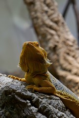I'm waiting the right moment to attack (Carandoom) Tags: 2017 suisse switzerland animal lézard macro bois