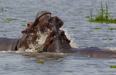 Hippos Sparing Murchison Falls National Park Uganda _ZM43389 Nov 2016 (www.sabrewingtours.com) Tags: fall national park uganda african birding expo sabrewing nature tours snt photo tour brian zwiebel bz tourism eco murchison sparring hippo hippopotamus fight water white nile river marsh thepearlofafrica conservation entebee 2016