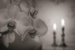 Shaped bokeh (nillamaria) Tags: dogwood2017 dogwood52 dogwoodweek47 shaped bokeh bokehshape orchid orkide