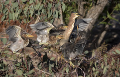 Green Heron feeding time (Ken Phenicie Jr.) Tags: greenheron feeding chicks milpitas