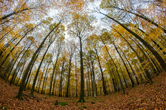 Miller's crossing (karl.b) Tags: forest trees landscape deciduous autum fall woods nopeople beautiful fisheye samyang12mm nikond610 yellow green sky clouds november wood tree park grass