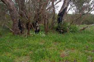 Carpobrotus edulis, Euphorbia terracina, Osteospermum ecklonis and Eucalyptus rudis, Jandakot Regional Park, near Perth, WA, 11/10/17