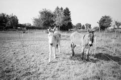 Donkeys (25/8) Tags: olympus xa kodak trix ilfotecddx