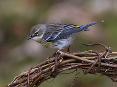Yellow-rumped Warbler (AllHarts) Tags: yellowrumpedwarbler backyardbirds cordovatn passionforbirds naturescarousel ngc