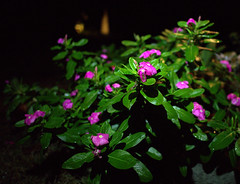 _MG_2872.CR2 (jalexartis) Tags: vinca bloom blooms flower flowers night nightphotography nightshots lighting camranger rain raincover diy