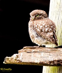 Little owl at barn (Ted Humphreys Nature) Tags: litleowl owls raptors birdsofprey tedhumphreysnature