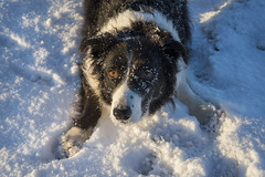 Snowball pose (Keartona) Tags: poppy snow waiting crouched crouching bordercollie collie dog morning sunny winter face cute anticipation snowball snowy eyes outdoors england