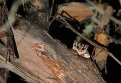 Sugar Glider (Caleb McElrea) Tags: borderfx kanangraboyd kanangraboydnationalpark bluemountains worldheritagearea unesco greatdividingrange newsouthwales nsw australia nature wilderness