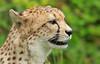 Cheetah (Allan Jones Photographer) Tags: cheetah bigcat whiskers feline allanjonesphotographer canon5d4