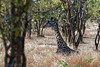 Girafe 4610_DxO.jpg (Zoizeaux de Gabriel) Tags: mikumi girafe tanzanie nikond750