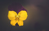 Pansy (Dhina A) Tags: sony a7rii ilce7rm2 a7r2 wollensak 3inch 75mm f19 oscilloraptar 109x wollensak75mmf19 bokeh 19 oscilloscope pansy flower garden plant closeup