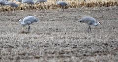Two Sandhill Cranes Looking for Food in Opposite Directions (Joseph Hollick) Tags: bird sandhillcrane opposites flickrfriday longpoint