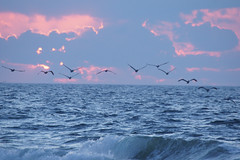 pelicans at early light (purduebob) Tags: nwr pelicans clouds waves